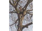 Фото 1 Обрезка и кронирование деревьев в Киеве и пригороде 341257