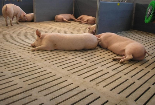 Бетонные щелевые полы прекрасно подходят для свиней группового содержания.