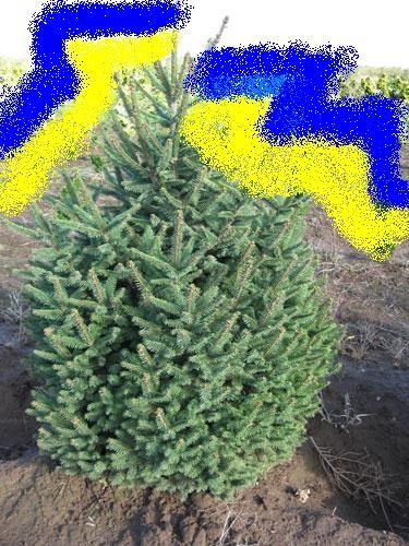 Ель обыкновеная зеленая, эксклюзивное качество. 1,2-1,5 м