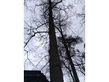 Валка аварийных деревьев киев, Спуск дерева по частям