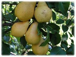 Обрезка сада 20 грн. за год жизни дерева