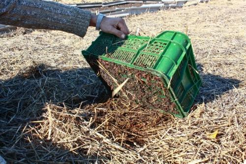 Технологический червь для переработки мусора на участке