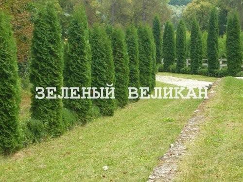 Живая изгородь, высота от 1,5 м до 9 м, вечнозеленые и лиственные растения